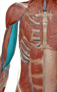 biceps-braquial-cabeza-corta