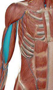 biceps-braquial-cabeza-larga