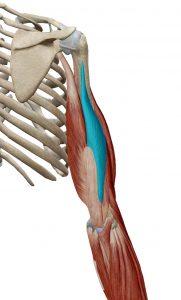 triceps-braquial-cabeza-corta