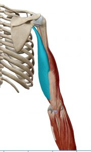 triceps-cabeza-larga