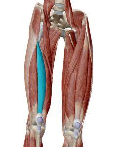 Vasto intermedio fibras laterales