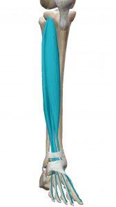 Flexión dorsal del pie